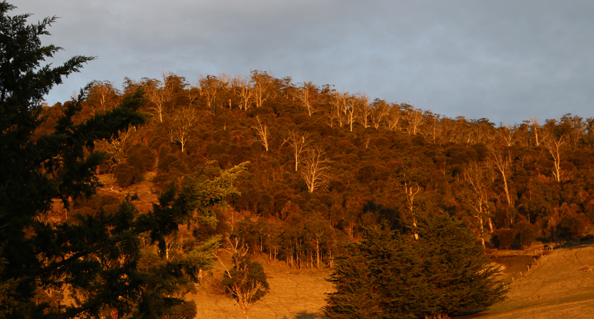 Dead trees in the Huon Valley ... is this normal?